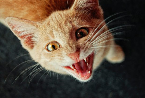 Dental Healthcare for Cats